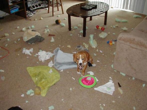 beagle destruicao