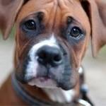 boxer orelha