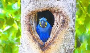 arara azul arvore