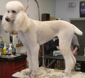 grooming_Standard_Poodle_after