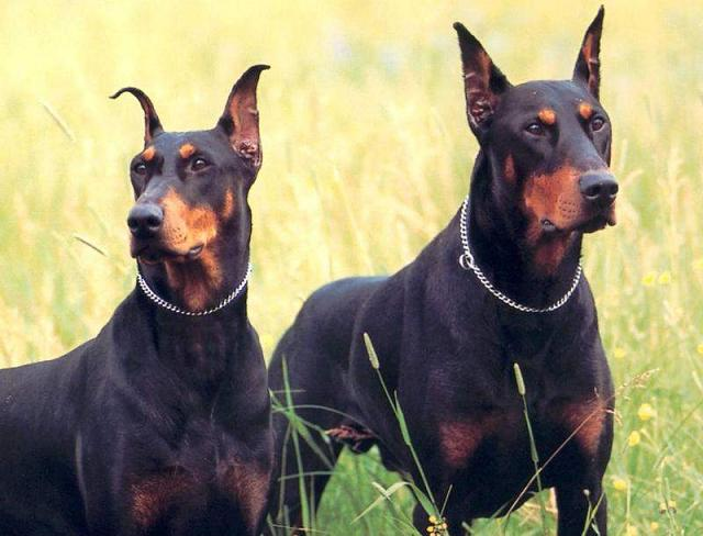 Doberman_Pinschers