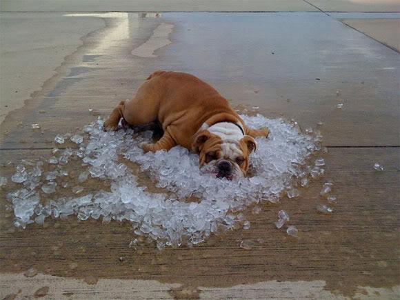 buldogue gelo